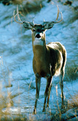whitetail dear